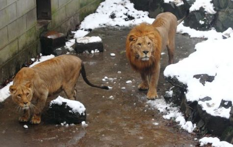 "A Translation of Zhao Yuanren's ""The Story of Lion-Eating Shi"""