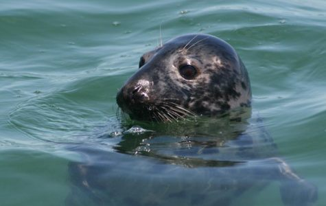 Why a Seal Cull is Not the Solution for Shark Attacks on Cape Cod
